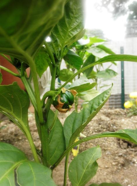 Green pepper growing!